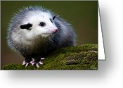 Mammal Photograph Greeting Cards - Opossum  Greeting Card by Paul Cannon
