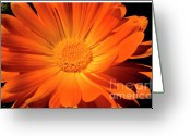 Orange Daisy Photo Greeting Cards - Orange Daisy Greeting Card by Thomas R Fletcher