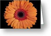 Orange Daisy Photo Greeting Cards - Orange Gerbera Daisy on Black Greeting Card by Zoe Ferrie