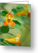 Impatiens Flowers Greeting Cards - Orange Jewelweed Greeting Card by Michael Peychich