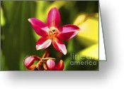 Red Orchid Blooms Greeting Cards - Orchid 8 Greeting Card by Cheryl Young
