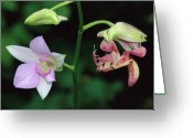 Hymenopodidae Greeting Cards - Orchid Mantis Hymenopus Coronatus Greeting Card by Thomas Marent