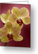Evansville Greeting Cards - Orchid Greeting Card by Sandy Keeton