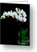 White Orchids Greeting Cards - Orchids ll Greeting Card by Marsha Heiken