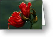 Tulip Art Botanical Art Mixed Media Greeting Cards - Out of Africa Greeting Card by Patricia Griffin Brett