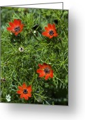 Cornfield Greeting Cards - Pheasants Eye (adonis Annua) Greeting Card by Bob Gibbons