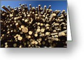 Large Group Greeting Cards - Pine Pinus Sp Logs Drying Greeting Card by Konrad Wothe