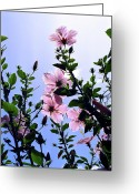 Kevin W .smith Greeting Cards - Pink Hibiscus Greeting Card by Kevin Smith