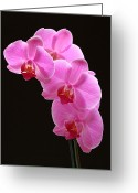 Photo Greeting Cards - Pink Orchids Greeting Card by Juergen Roth