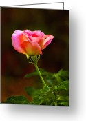 Cards Gallery Greeting Cards - Pink Rose Greeting Card by James Steele