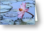 Florida Flowers Greeting Cards - Pink Water Lily Greeting Card by Sabrina L Ryan