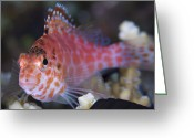 Looking At Camera Greeting Cards - Pixy Hawkfish, Kimbe Bay, Papua New Greeting Card by Steve Jones