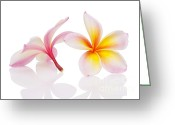 Mo Greeting Cards - Plumeria or Leelawadee Greeting Card by Atiketta Sangasaeng