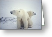 Protective Mother Greeting Cards - Polar Bear And Cub Greeting Card by Chris Martin-bahr
