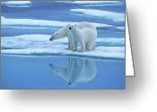 Carnivores Greeting Cards - Polar Bear Ursus Maritimus Pair On Ice Greeting Card by Rinie Van Meurs