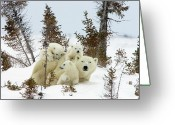 Ursus Maritimus Greeting Cards - Polar Bear Ursus Maritimus Trio Greeting Card by Matthias Breiter