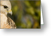 Sanibel Island Greeting Cards - Portrait Of A Florida Red-shouldered Greeting Card by Tim Laman