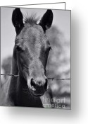 Quarter Horse Greeting Cards - Pretty Girl Greeting Card by Juls Adams