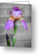Fragrant Flowers Greeting Cards - Purple Iris Greeting Card by Jai Johnson