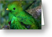 Tail Feathers Greeting Cards - Quetzal Greeting Card by Heiko Koehrer-Wagner