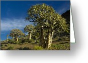 Quiver Greeting Cards - Quiver Tree Forest Greeting Card by Michele Burgess