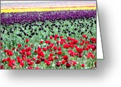 Spring Tulip Greeting Cards - Rainbow of Tulips Greeting Card by Nick Gustafson