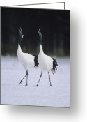 Threatened Species Greeting Cards - Red-crowned Crane Grus Japonensis Pair Greeting Card by Konrad Wothe