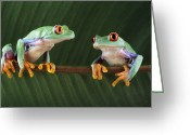 Red-eyed Frogs Greeting Cards - Red-eyed Tree Frogs Greeting Card by David Aubrey