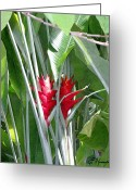 Spice Painting Greeting Cards - Red Ginger Greeting Card by Ellen Henneke