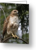 Red Birds Greeting Cards - Red Tail Hawk 2 Greeting Card by Peter Gray