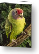 Brasiliensis Greeting Cards - Red-tailed Amazon Amazona Brasiliensis Greeting Card by Claus Meyer