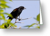 Red Wing Blackbird Greeting Cards - Red Wing Blackbird Greeting Card by Michel Soucy