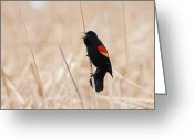 Red Wing Blackbird Greeting Cards - Redwing Blackbird sings Greeting Card by Michel Soucy
