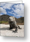Horned Lizard Greeting Cards - Rhinoceros Iguana Isla Cabritos Greeting Card by Reinhard Dirscherl