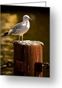 Onyonet Photo Studios Greeting Cards - Ring-billed gull on Pillar Greeting Card by  Onyonet  Photo Studios