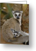 Berenty Private Reserve Greeting Cards - Ring-tailed Lemur Lemur Catta Mother Greeting Card by Pete Oxford