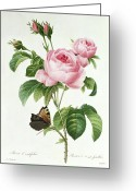 Thorn Greeting Cards - Rosa Centifolia Greeting Card by Pierre Joseph Redoute