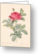 Bud Greeting Cards - Rosa Gallica Pontiana Greeting Card by Pierre Joseph Redoute