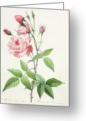Natural Drawings Greeting Cards - Rosa Indica Vulgaris Greeting Card by Pierre Joseph Redoute