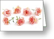 Peach Greeting Cards - Rose blossoms Greeting Card by Elena Elisseeva