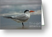 Tern Greeting Cards - Royal Tern Greeting Card by David Cutts
