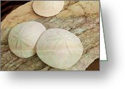 Dark Brown Greeting Cards - Sand Dollars Greeting Card by Shirley Sirois