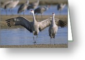 Sandhill Greeting Cards - Sandhill Cranes Roost Along The Platte Greeting Card by Joel Sartore