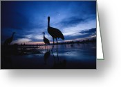 River Scenes Greeting Cards - Sandhill Cranes Roost On The Platte Greeting Card by Joel Sartore