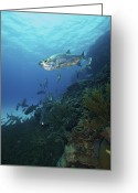 Coral Reef Greeting Cards - School Of Tarpon, Bonaire, Caribbean Greeting Card by Terry Moore