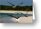 Black Bird Greeting Cards - Sea birds Greeting Card by Ivan SABO