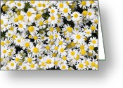 Clump Greeting Cards - Sea Mayweed (tripleurospermum Maritimum) Greeting Card by Adrian Bicker