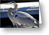 Blue Heron Photo Greeting Cards - Seeking Greeting Card by Fraida Gutovich