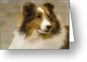 Sheltie Greeting Cards - Sheltie Greeting Card by Rebecca Cozart