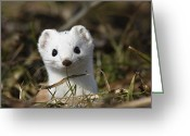 Looking At Camera Greeting Cards - Short-tailed Weasel Mustela Erminea Greeting Card by Konrad Wothe